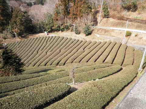 茶畑30.JPG