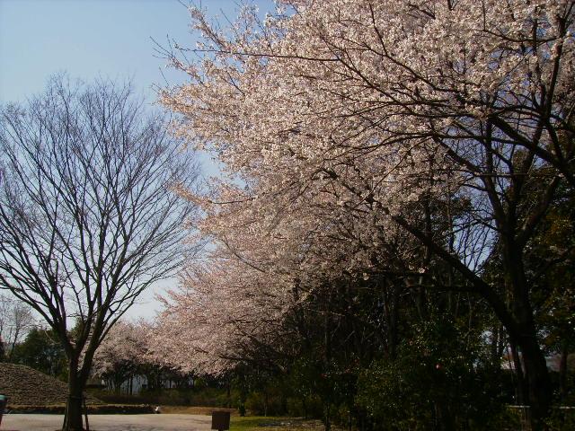 古墳の桜44