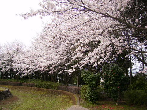 古墳公園の桜27.JPG