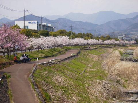 公園前の桜並木117.JPG