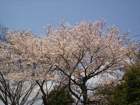桜97.JPG