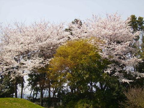 桜と若葉98.JPG