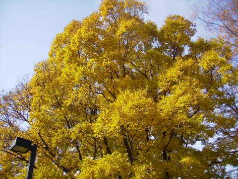 けやきの黄葉16.JPG