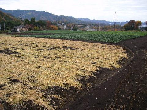 しょうがの収穫済25.JPG