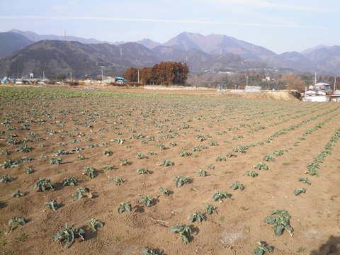 ぶろっこりー畑81.JPG