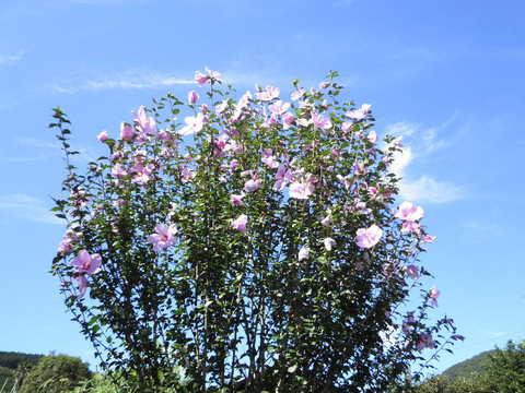 むくげの花21.JPG