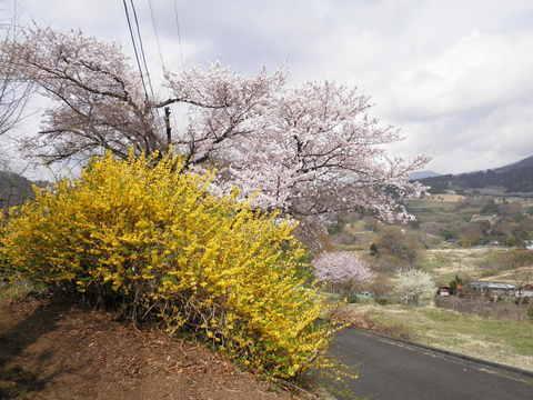 れんぎょうと桜116.JPG