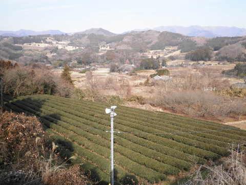 冬の茶畑22.JPG