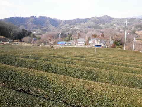 冬の茶畑25.JPG