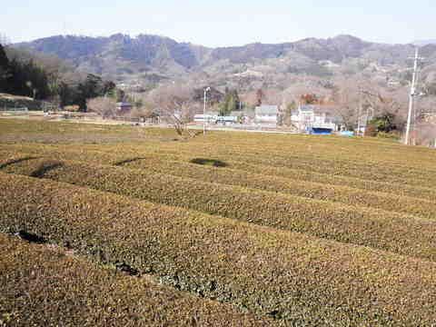 冬の茶畑28.JPG