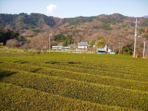 初冬の茶畑55.JPG