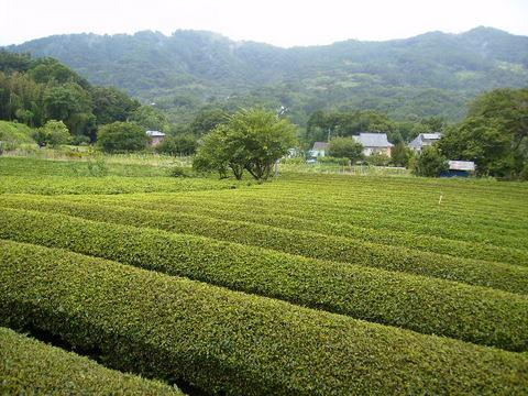 初秋の茶畑25.JPG