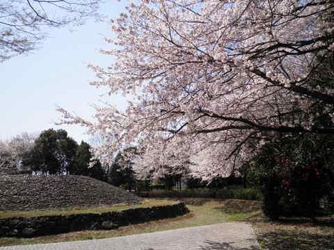 古墳の桜43.JPG