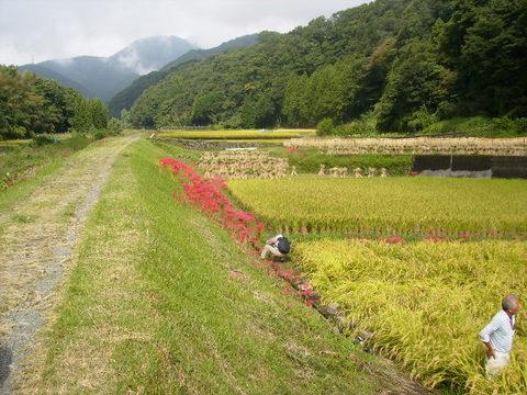 土手道と稲田89.JPG