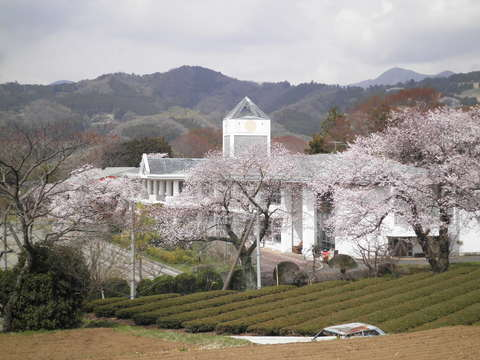 学校の桜140.JPG