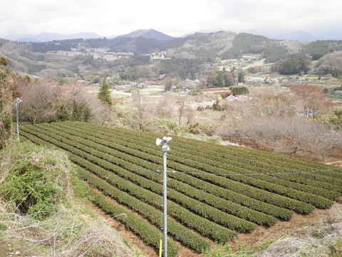 春の茶畑107.JPG