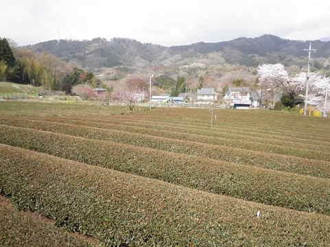 春の茶畑110.JPG