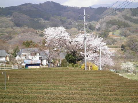 春の茶畑と桜111.JPG