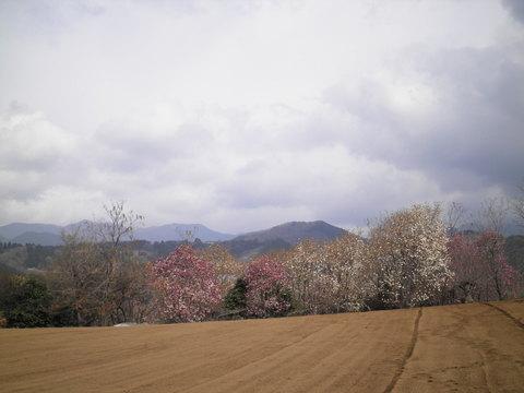 木蓮を望む103.JPG