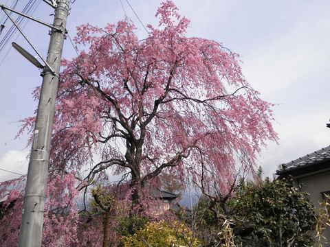 枝垂れ桜24.JPG