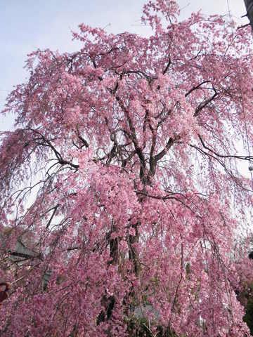 枝垂れ桜25.JPG
