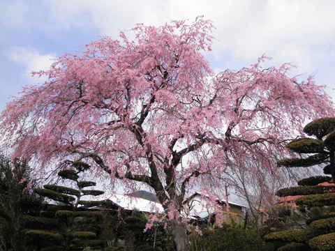 枝垂桜44.JPG