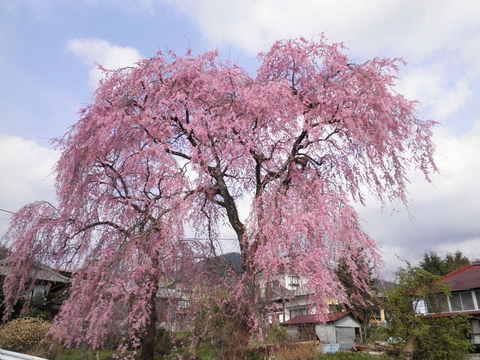 枝垂桜47.JPG