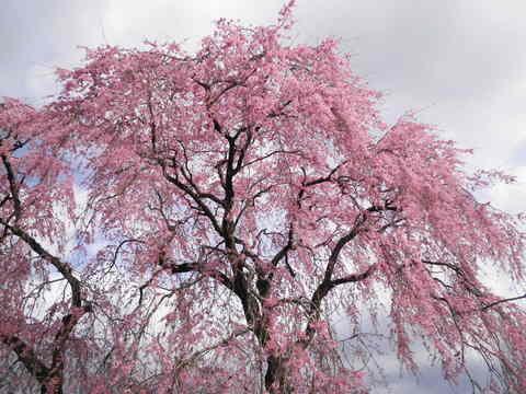 枝垂桜49.JPG