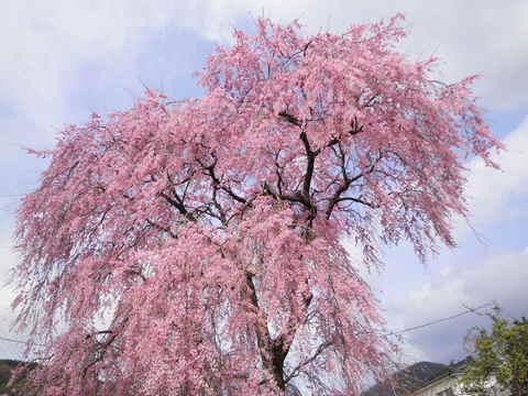 枝垂桜55.JPG