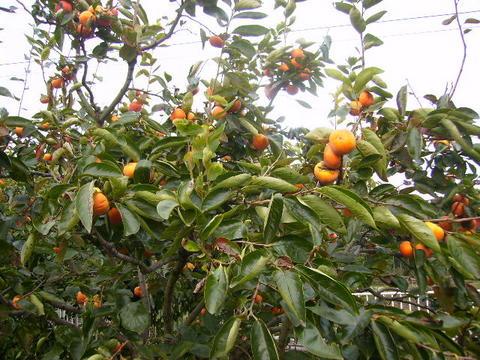 柿の実127.JPG