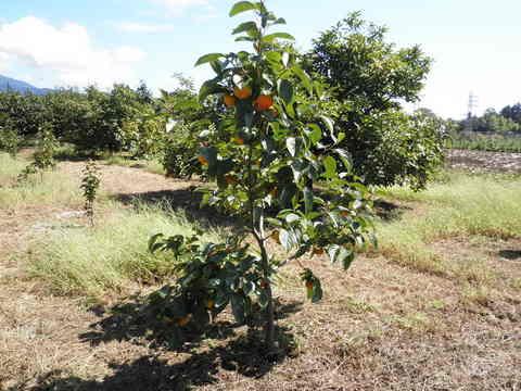 柿の実80.JPG