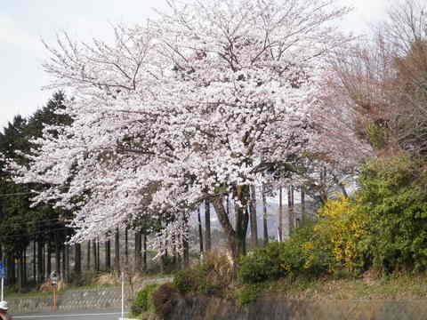 桜100.JPG