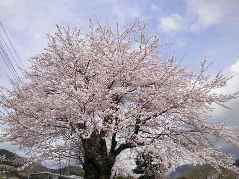 桜63.JPG