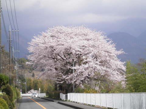 桜96.JPG