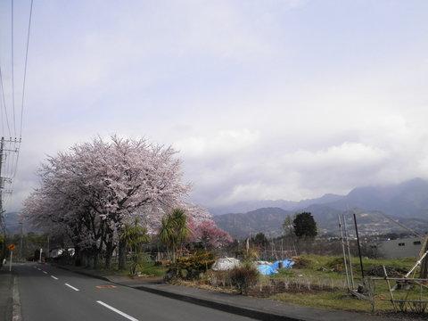 桜と丹沢15.JPG