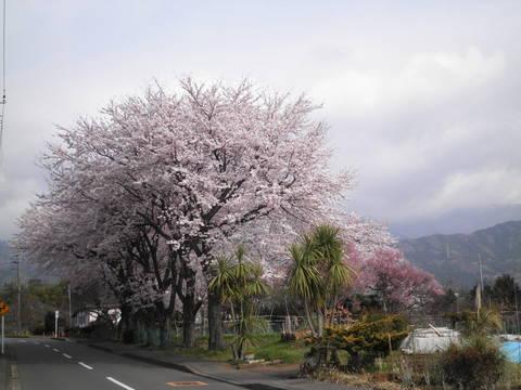 桜と丹沢16.JPG