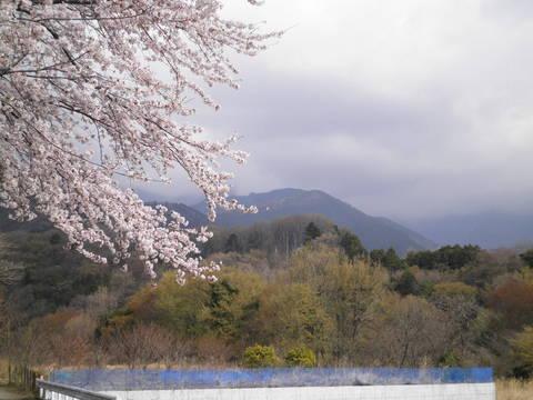 桜と萌黄62.JPG