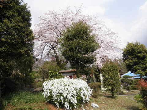 桜と雪柳70.JPG