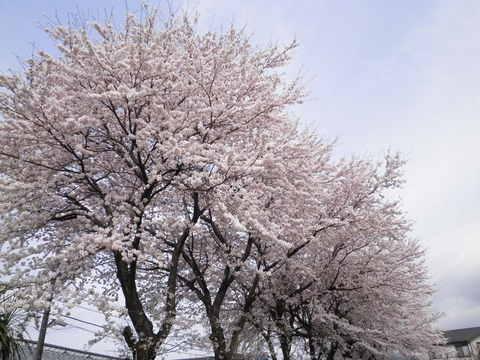 桜満開20.JPG