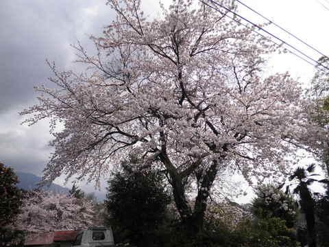 満開の桜74.JPG