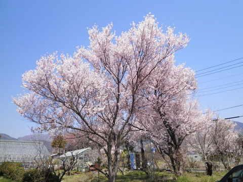 満開の豆桜23.JPG