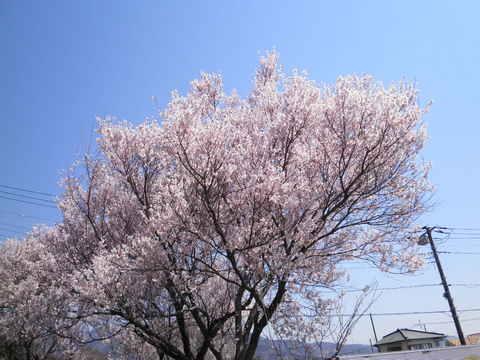 満開の豆桜29.JPG