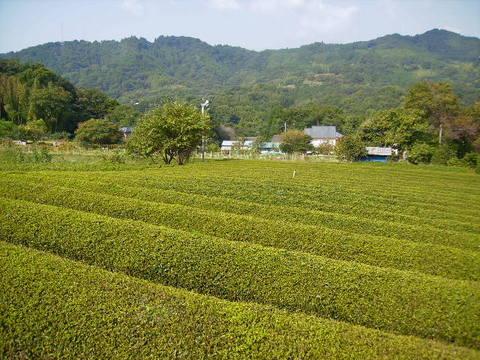 秋の茶畑30.JPG