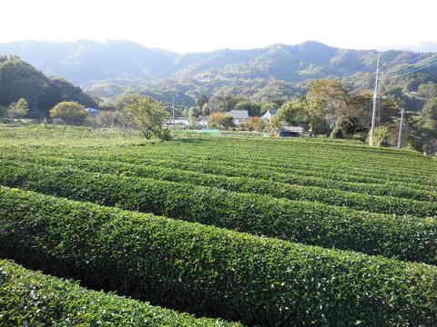 秋の茶畑67.JPG