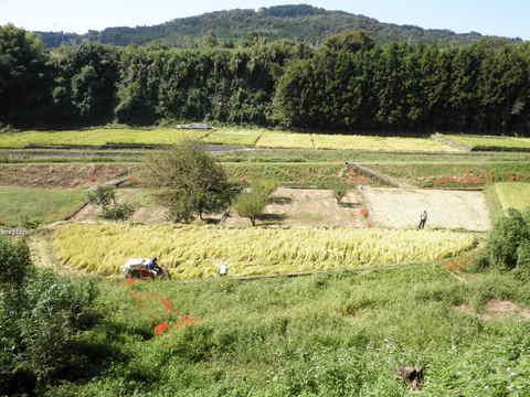 稲刈り中21.JPG