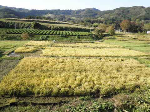 稲刈り前74.JPG