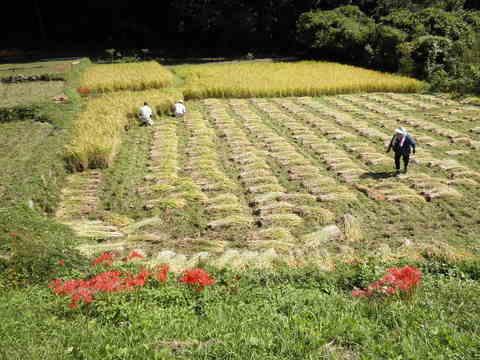稲刈り済104.JPG