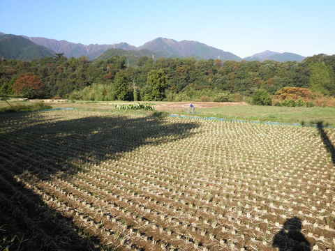 稲刈り済58.JPG