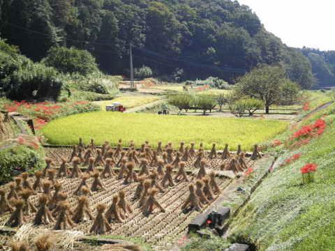 稲田と藁干し38.JPG