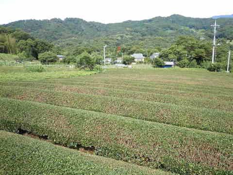 茶畑29.JPG